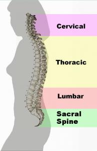 Spinal_column